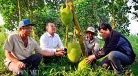 Trung Quốc nhập nhiều mít Thái của Việt Nam bằng đường nào, Trung Quốc trồng bao nhiêu hecta mít?