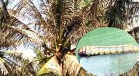 """Chủ tịch tỉnh Bến Tre quyết định chi gần 1 tỷ đồng để """"trị"""" loài sâu ăn lá dừa"""