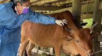 Bệnh viêm da nổi cục trên trâu, bò: Vì sao phải tiêm phòng bao vây trong phạm vi tới 100km?