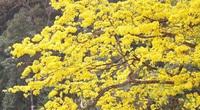 Đẹp mê mẩn trước sắc vàng rừng hoa mai và cây mai 700 tuổi tại chân núi Yên Tử