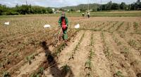 Phú Yên: Ăn 3 ngày tết xong nông dân đã tất tả ra đồng diệt loài sâu gì nghe tên nhiều người đã căm phẫn