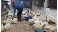 Giá gia cầm hôm nay 27/2: Giá các loại gà, vịt mới nhất, vịt thịt miền Bắc giá cao