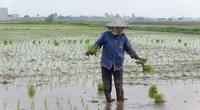 Thái Bình tăng gieo trồng giống lúa năng suất cao, máy móc chạy đầy trên đồng