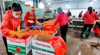 Covid-19 tại Hải Dương: Nông dân trồng cà rốt lại thu bạc tỷ khi hàng hóa được lưu thông