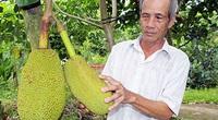 Góc dành cho nông dân trồng mít Thái: Làm cách này sẽ giúp trái mít Thái giảm xơ đen
