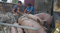 Bao giờ có vaccine thương mại dịch tả lợn châu Phi?