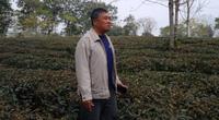 Vụ hủy hợp đồng giao khoán vườn chè ở Tuyên Quang: Người trồng chè mong gì trước phiên tòa phúc thẩm?