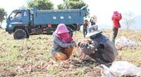 Quảng Trị: Ra tháng Giêng, nông dân lên đồi đào củ gì mà nhà máy đánh ô tô vào tận nơi mua với giá cao?