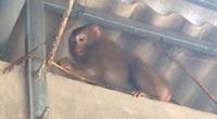 Quảng Trị: Xuất hiện khỉ vàng quý hiếm phá hoại khu dân cư khiến người dân hoang mang