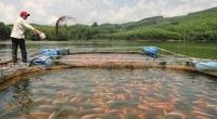 Video: Hướng dẫn kỹ thuật nuôi cá Diêu Hồng trong lồng bè hiệu quả nhất