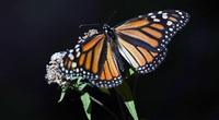 Vẻ đẹp của loài bướm vua có khả năng bay qua Đại Tây Dương