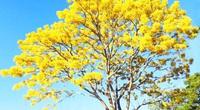 """Lâm Đồng: Độc đáo với hoa phượng vàng nở bung, """"tỏa nắng"""" khiến du khách ngẩn ngơ"""