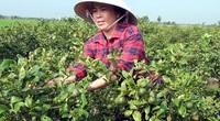 Tiền Giang: Trồng loài cây gì ra trái chùm, bán quả quanh năm, chăm nhàn mà lời 30 triệu/tháng