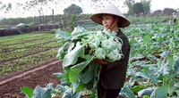 Nâng cao thu nhập nhờ trồng rau VietGAP chuẩn sạch