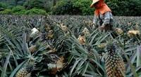 Vì sao Trung Quốc cấm dứa từ Đài Loan?