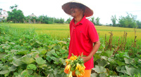 Kể chuyện làng: Tháng Giêng nhớ mùa hoa bí ven sông Yên