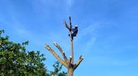 """""""Vua khỉ"""" miền Tây 10 giây leo cây dừa cao hơn chục mét"""