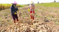 Gia Lai: Giá mì tăng cao, ai cũng lãi khá nhưng vì sao ngành nông nghiệp khuyến cáo không ồ ạt trồng?