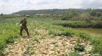 Đắk Nông: Cám cảnh trồng rau bỏ ra 10 đồng thu về 3-4 đồng, nông dân ném cho gà, cá ăn