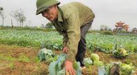 Nghệ An, Hà Tĩnh: Rau xanh chất đống nông dân không buồn thu hoạch, để thối làm phân