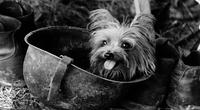 Smokey - người hùng 4 chân đáng yêu trong Chiến tranh thế giới thứ 2