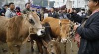 """Chợ bò Mèo Vạc: Mỗi ngày mua bán 300-400 con bò, khoe nhau tài chăm sóc """"đầu cơ nghiệp"""""""