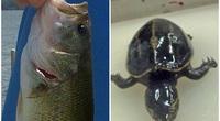 Phát hiện thần kỳ về chú rùa kỳ lạ sống trong dạ dày cá vược miệng lớn
