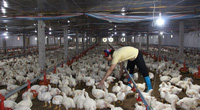 Giá gia cầm hôm nay 6/3: Cập nhật giá gà công nghiệp, gà lông màu, vịt thịt tại ba miền