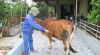 Nghệ An: Trâu, bò tự dưng nổi cục lớn, cục nhỏ trên da, ngành chức năng rốt ráo khoanh vùng, dập dịch