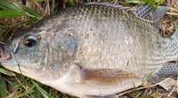 Lâm Đồng: Vợ chồng ông nông dân thành phố này nuôi cá rô phi đơn tính, bắt hàng tấn bán mà thành tỷ phú