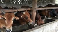 Xã vùng cao nuôi cả nghìn con trâu bò, mỗi năm người nông dân nhận về hàng tỷ đồng