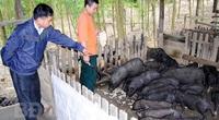 Bình Định: Loài heo đen đặc sản cho ăn chuối rừng, rau dại, không phải lo đầu ra