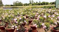 """Đồng Tháp: """"Phát sốt"""" với cây những cây sứ trổ bông màu hồng ở TP Sa Đéc, cây to giá bán tiền triệu"""
