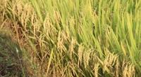 Bình Định: Ngỡ ngàng loạt giống lúa siêu năng suất, đạt đến 90 tạ/ha, ít sâu bệnh, lúa tốt bời bời