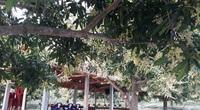 Bình Định: Trồng xoài ở vùng đất Tây Sơn, nông dân không phải đem đi bán mà đã có người mua