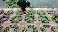 Ảnh: Trồng rau hốc đá, người Hà Nội ăn rau sạch quanh năm không hết