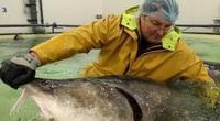 """""""Đột nhập"""" và tìm ra bí mật ở nơi nuôi loài cá làm ra thứ đặc sản thượng hạng hàng trăm triệu/kg"""