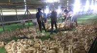 Giá gia cầm hôm nay 13/4: Gà công nghiệp, vịt thịt mất giá từng ngày