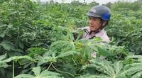 Giá sắn tiếp tục tăng mạnh, cám cảnh vì nhiều nông dân không được hưởng lợi