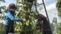 """Giá tiêu hôm nay 14/4: Việt Nam đã nhập bao nhiêu tấn hạt tiêu, nước nào đứng số 1 """"ăn"""" hồ tiêu Việt?"""