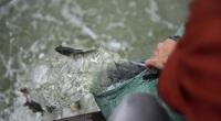 Hơn 10 tấn cá được phóng sinh trên quê hương Bác Hồ