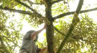 Tiền Giang: Nôn nóng làm điều này, hàng loạt vườn sầu riêng rụng trái non, nông dân nếm trái đắng