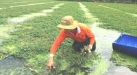 """Tiền Giang: Trồng loài rau cứ thả xuống nước là đeo """"phao bơi"""" khắp ruộng, hái bán lời cao gấp 10 lần xạ lúa"""