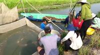 Đồng Tháp: Nuôi cá lăng ngoài đồng lúa, chả phải cho ăn mà dân bắt lên toàn cá tươi rói, bán đắt tiền