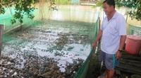 Cần Thơ: Giá ếch thịt, giá ếch giống rủ nhau tăng cao kỷ lục, bán chạy vèo vèo