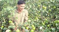Bắc Giang: Trồng táo Đài Loan, nuôi chim bồ câu, nông dân nhanh khấm khá