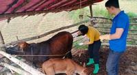 Bệnh viêm da nổi cục trên trâu bò bùng phát trở lại ở Bắc Kạn
