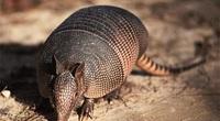 Tatu ba đai - loài động vật nhỏ bé có thể lăn tròn như quả bóng khi gặp nguy hiểm