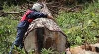 Lâm Đồng: 4 trưởng ban quản lý rừng bị tạm đình chỉ công tác, xem xét hình thức kỷ luật