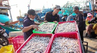 Thật bất ngờ: Thứ cá dân mình chỉ để làm mắm, phơi khô bán sang Trung Quốc lại đắt như tôm tươi